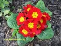 red-primroses