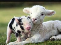 A piglet and lamb sitting together in the grass