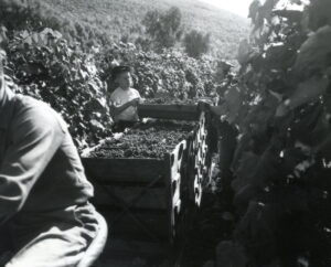 Men stacking flats of grapes in aisle between rows of grapevines.